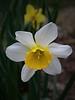 daffodil_8178CR2