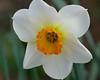 daffodil_7809cr2