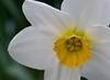 daffodil_7792CR2