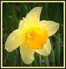daffodil_framed7997