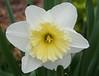 daffodil_7631