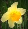 daffodil_7997