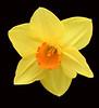 daffodil_7699