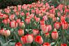 tulips IMG_6032