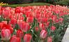 tulips IMG_5985