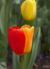 tulip IMG_5991