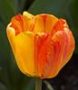 tulip IMG_5992
