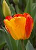 tulip IMG_5993