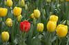 tulips IMG_5982
