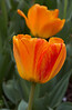 tulips IMG_6062