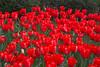 tulips IMG_6080