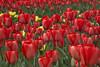tulips IMG_6007