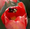 tulip IMG_6029