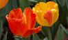 tulips IMG_6063