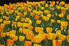 tulips IMG_5990