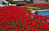 tulips IMG_6011