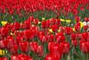 tulips IMG_6006