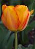 tulip IMG_6077