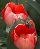 tulips IMG_6021