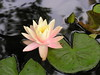 water lilies june_30_05 013