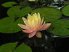 water lilies june_30_05 010