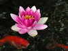 water lilies june_30_05 004