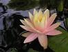water liliy 20