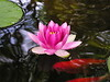 water lilies june_30_05 007