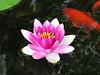 water lilies june_30_05 002