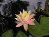 water lilies june_30_05 012