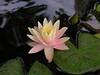 water lilies june_30_05 014