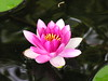 water lilies june_30_05 003