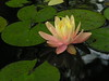 water lilies june_30_05 011
