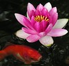 purple lily and fish