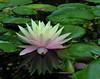 waterlily reflected DSCN6294