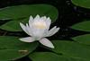 white waterlily_7545