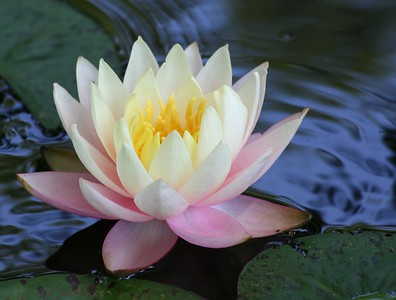 Water Lilies 2007
