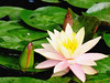 waterlily6266painting