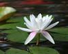 white waterlily7850