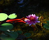 waterlily and fish IMG_2458