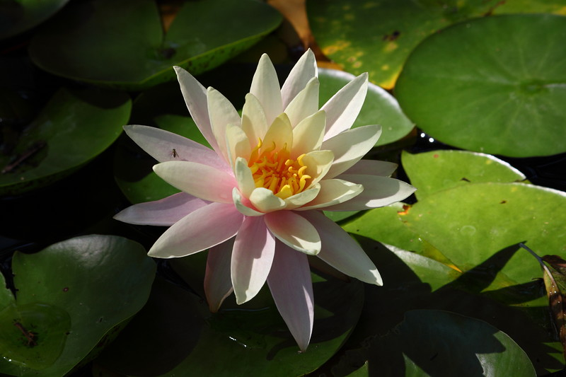 water lily IMG_2456