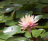 water lily IMG_0025