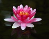 water lily IMG_2356