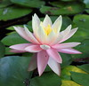 water lily IMG_0427