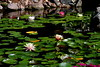 water lilies IMG_2235