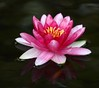 waterlily IMG_2378