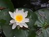 water lily DSCN7255