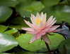 water lily IMG_0021