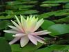 water lily DSCN7230