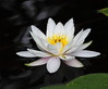 water lily IMG_2355